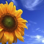 picture of a yellow sunflower with blue sky in background