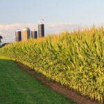 Farm field - corn