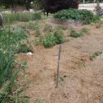 Jr Master Gardeners UWEX garden