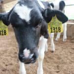 Young calf photo