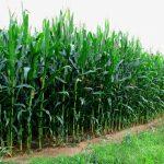 Corn Stalks growing in a field