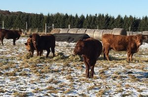 Grazing Cows in winter
